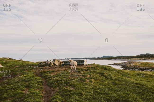 Sheep in Norwegian fjords