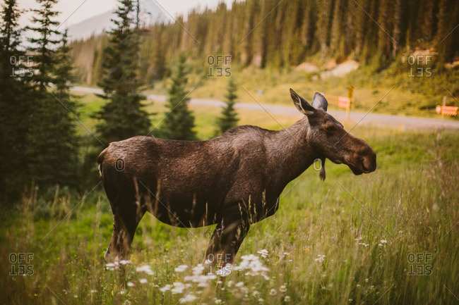 Moose in Canadian rural setting