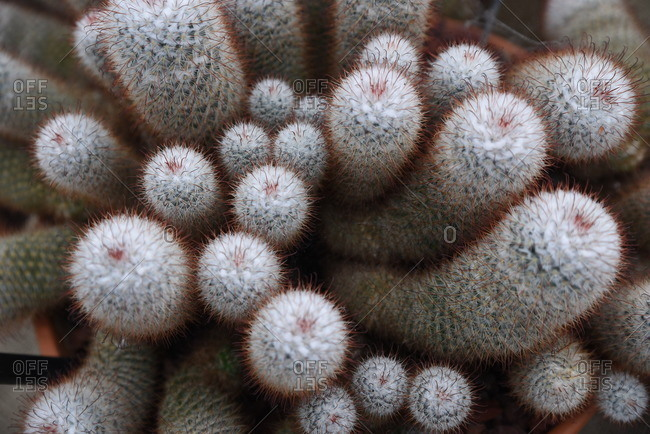 Bunch of fuzzy cacti