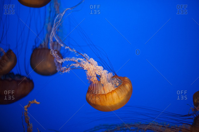 Orange sea nettle jellyfish swimming in blue water