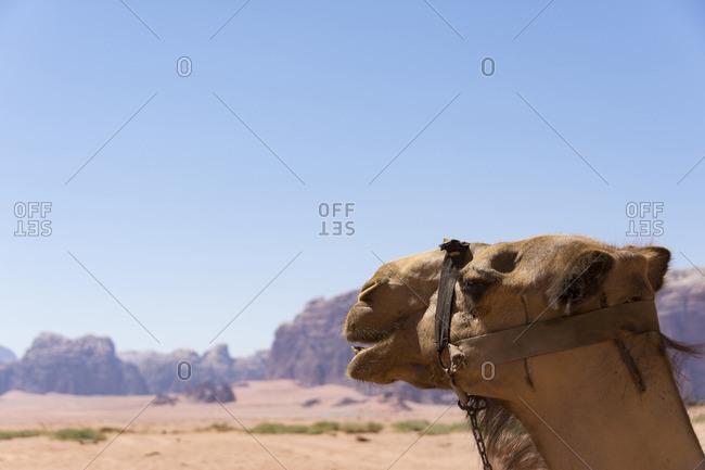 Camel against clear sky on sunny day