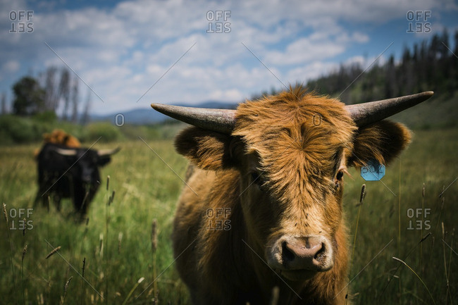 Portrait of highland cow with livestock tag standing on grassy field