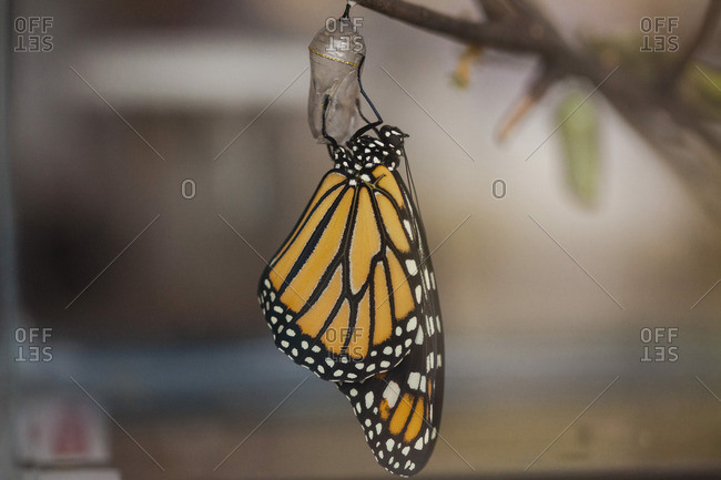 Close-up of butterfly on cocoon hanging on twig