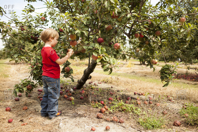 Side view of boy picking apples in orchard