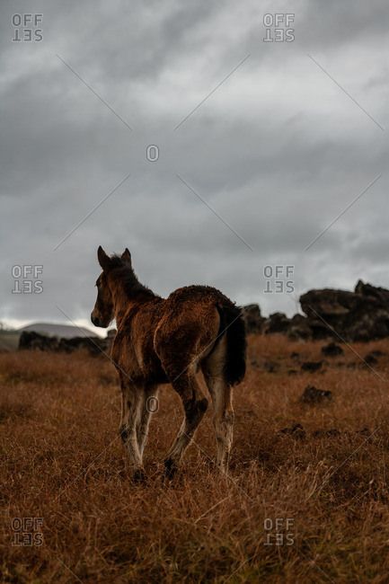 Wild horse in a field on a stormy day
