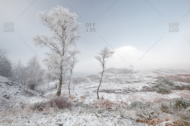 Frost covered trees on a snow and mist covered Scottish highland winter landscape
