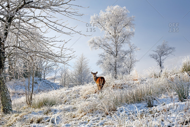 A lone Red Deer hind on a snow, mist and frost covered winter landscape in the Scottish highlands