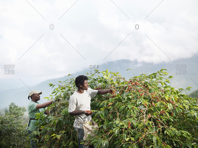Workers Picking Coffee Beans - Offset