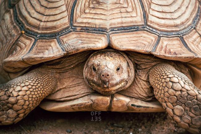 Sulcata tortoise in close up shot