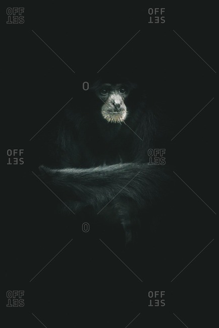 Siamang ape with black background
