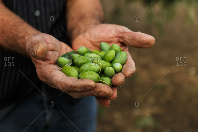 Hands holding raw olives