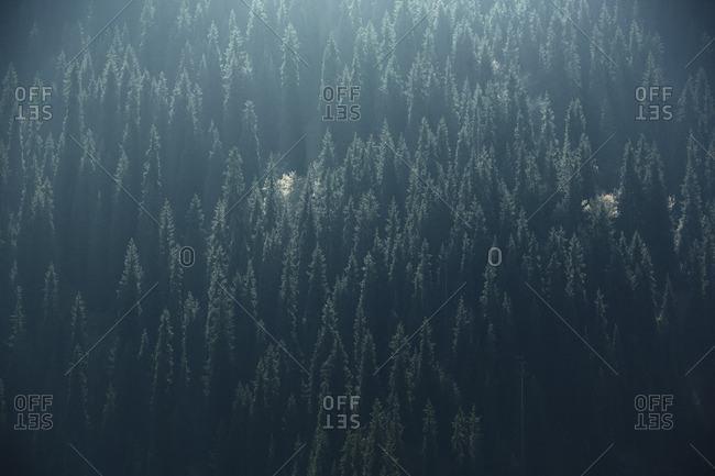 Forest of fir trees, Idaho, USA