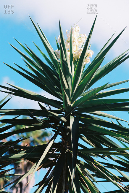 Flowering tropical plant with sharp green leaves