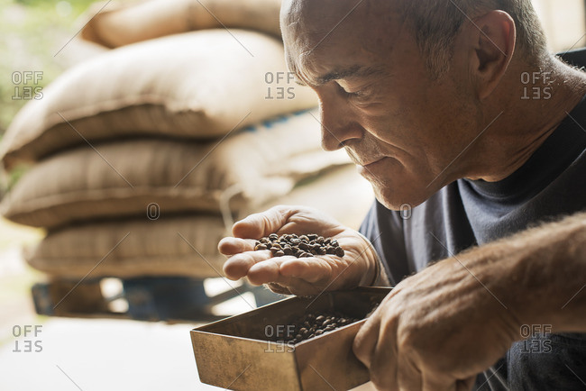 A man examining and smelling the aroma of beans at a coffee bean processing shed, on a farm