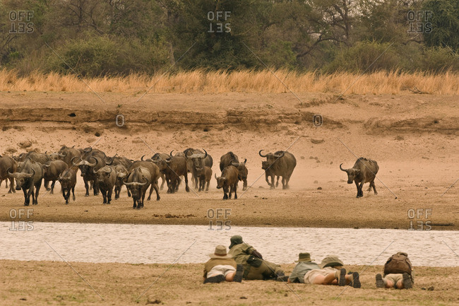 A walking safari party of people led by a guide, lying flat on a riverbank Watching a buffalo herd in the Luangwa Valley, Zambia