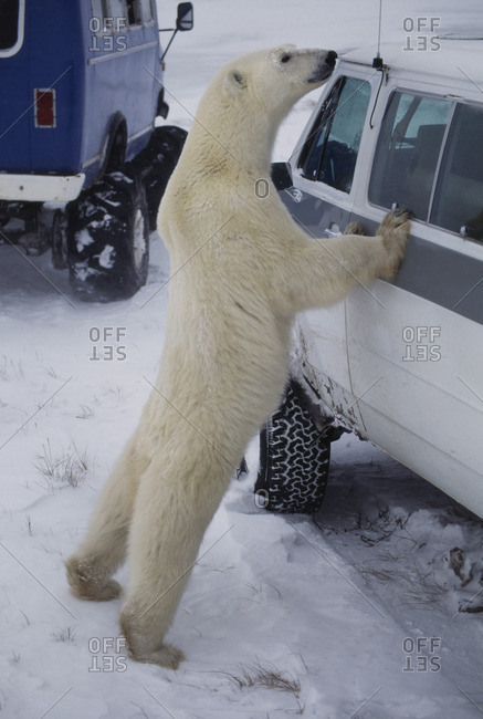 Polar bear examining tourist vehicle, Ursus maritimus, Hudson Bay, Canada