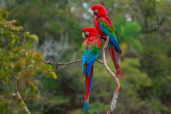 Red-and-green macaws, Ara chloroptera, Buraco das Araras, Brazil