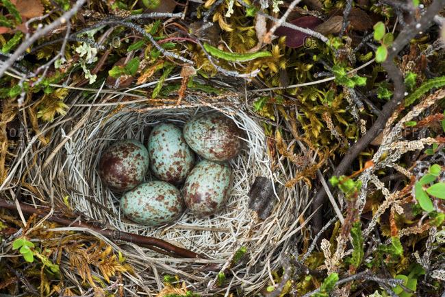 Ground nest, Arctic National Wildlife Refuge, Alaska, USA