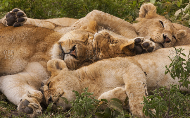 Lion and cubs resting in a heap in the Serengeti National Park, Tanzania