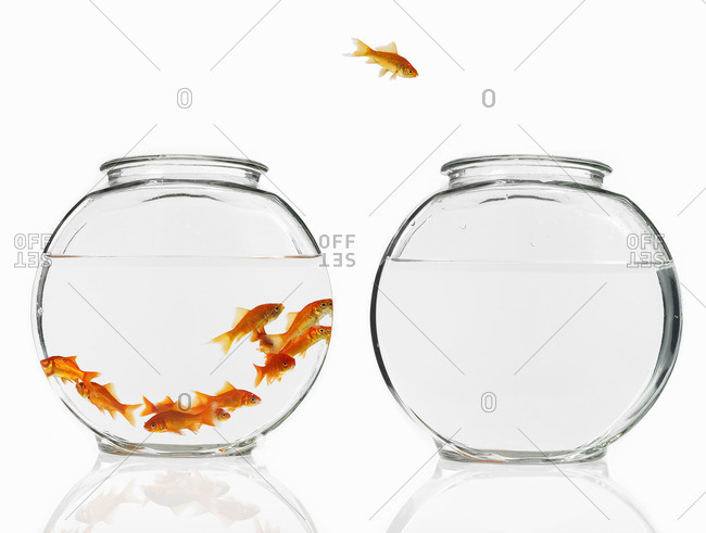 Goldfish swimming in a glass bowl, one escaping to another bowl