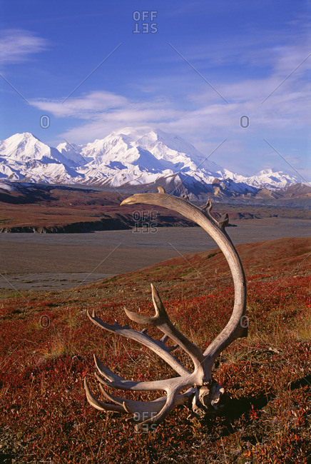 Tundra and caribou antlers in Denali National Park, Alaska in the fall Mount McKinley in the background