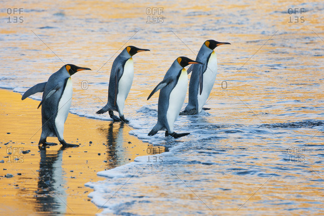A group of four adult King penguins at the water's edge walking into the water, at sunrise Reflected light