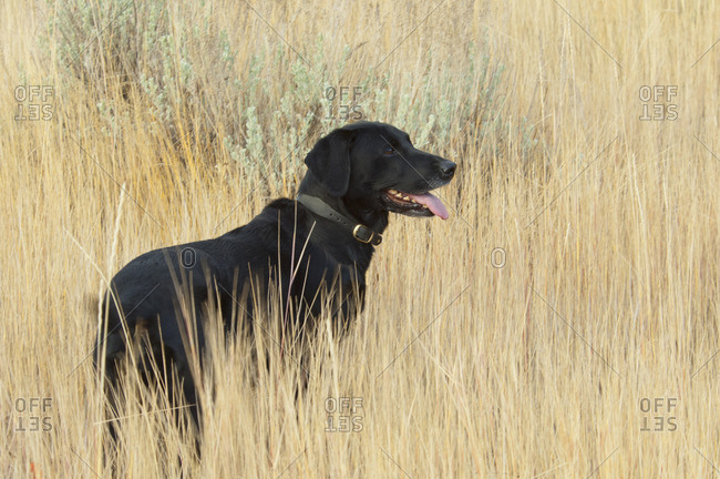 A black Labrador retriever dog standing in  the long grass