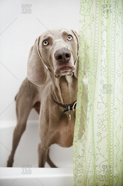 A Weimaraner dog standing looking around a shower curtain, in the bathroom