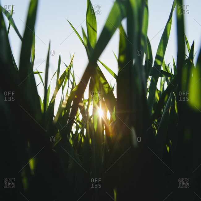 Low angle view of green, lush field of wheat, and the setting sun behind the stalks and stems, at dusk, near Pullman in Washington state, USA