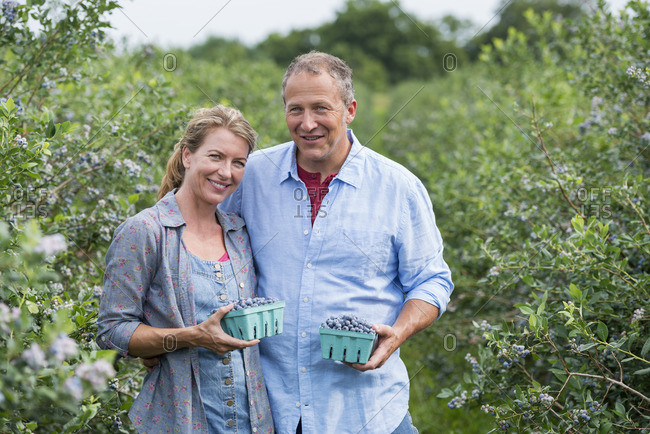 An organic fruit farm A mature couple picking the berry fruits from the bushes