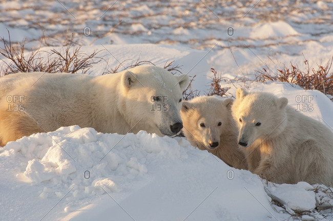 A polar bear group in the wild, an adult and two cubs on a snowfield in Manitoba