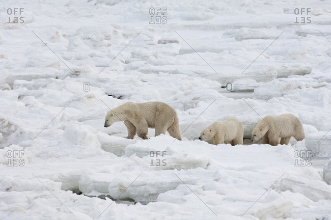 A polar bear group in the wild, one adult and two cubs