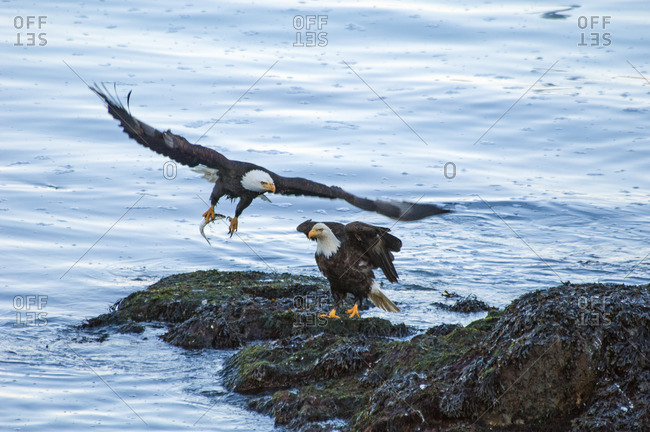 Two bald eagles, Haliaeetus leucocephalus, by water One spreading its wings and taking off clasping a fish in its talons