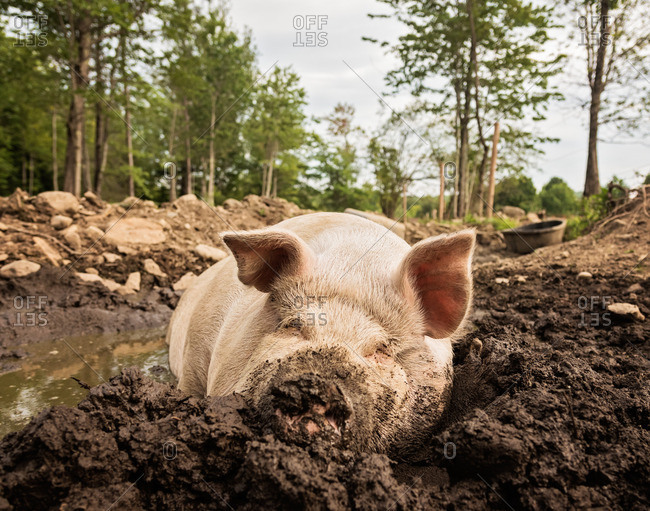 USA, Maine, Knox, Pig lying in mud