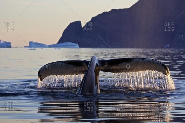 Fluke of a diving humpback whale, Megaptera novaeangliae, East Greenland, Greenland