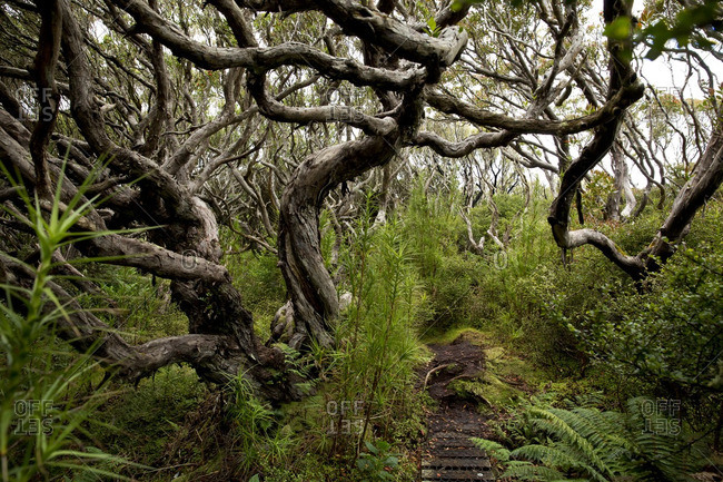 Enchanted pathway through Rata forest, Enderby Island, Auckland Island, New Zealand