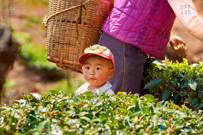 Menglian, Yunnan, China - March 3, 2016: Child in tea field with mother