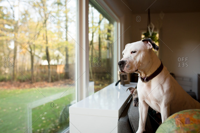 Two pit bull dogs sitting on a couch looking out a window