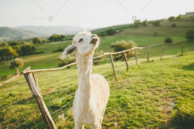 Alpaca taking in some fresh air