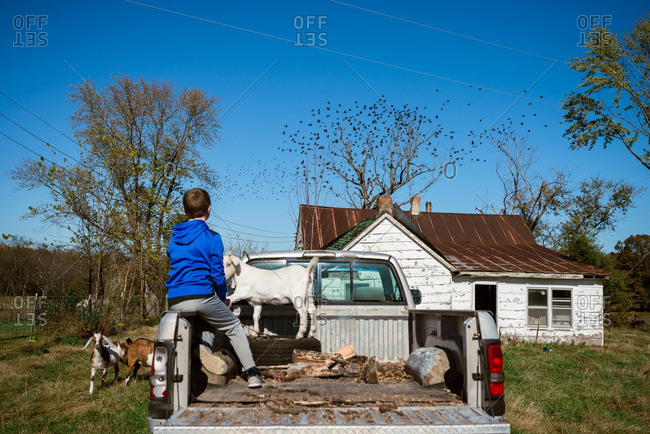 Boy and goats by truck in farmland