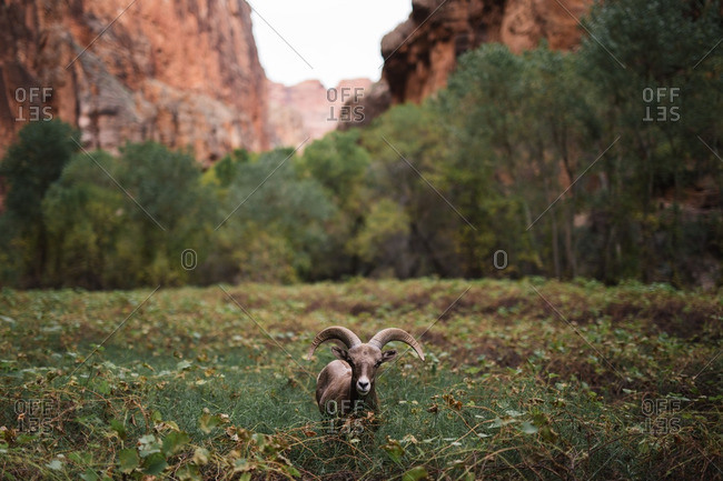 Bighorn ram in a field by the Grand Canyon