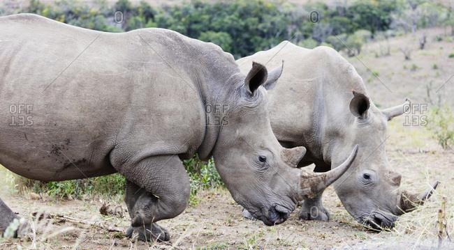 White rhino (Ceratotherium simum), Hluhluwe-Imfolozi Park, Kwazulu-Natal, South Africa, Africa