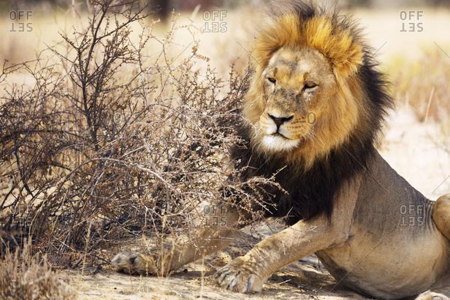 Resting lion (Panthera leo), Kgalagadi Transfrontier Park, Kalahari, Northern Cape, South Africa, Africa