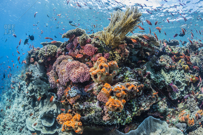 Coral reef with tropical fish viewed underwater at Batu Bolong, Komodo National Park, Flores Sea, Indonesia, Southeast Asia, Asia