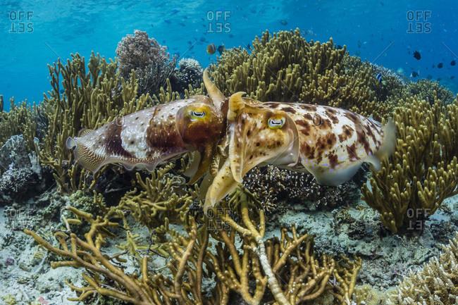 Adult broadclub cuttlefish (Sepia latimanus) mating on Sebayur Island, Flores Sea, Indonesia, Southeast Asia, Asia