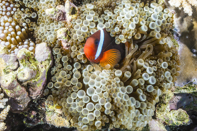 Adult tomato clownfish (Amphiprion frenatus), Mengiatan Island, Komodo National Park, Flores Sea, Indonesia, Southeast Asia, Asia