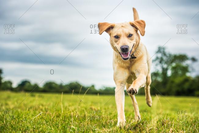 A golden Labrador dog, Oxfordshire, England, United Kingdom, Europe