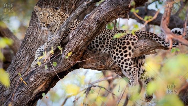 Leopard in a tree, Okavango Delta, Botswana, Africa