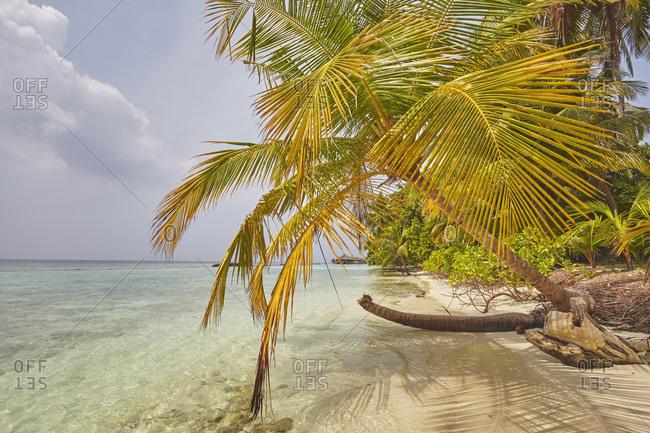 Coconut palm hanging over the beach, Kuramathi Island, Rasdhoo atoll, Ari atoll, Maldives, Indian Ocean, Asia