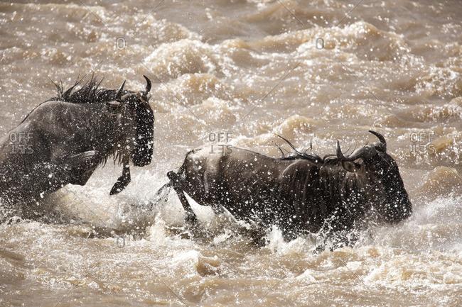 Wildebeest crossing river in Kenya